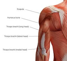 triceps diagram build up your muscles : triceps diagram - findchart.co